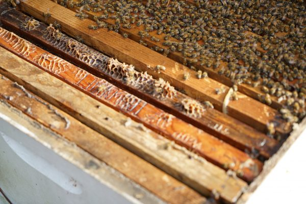 Bees on frames in a beehive