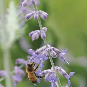 honeybee on sage blossom