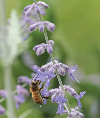 honeybee on sage blossom