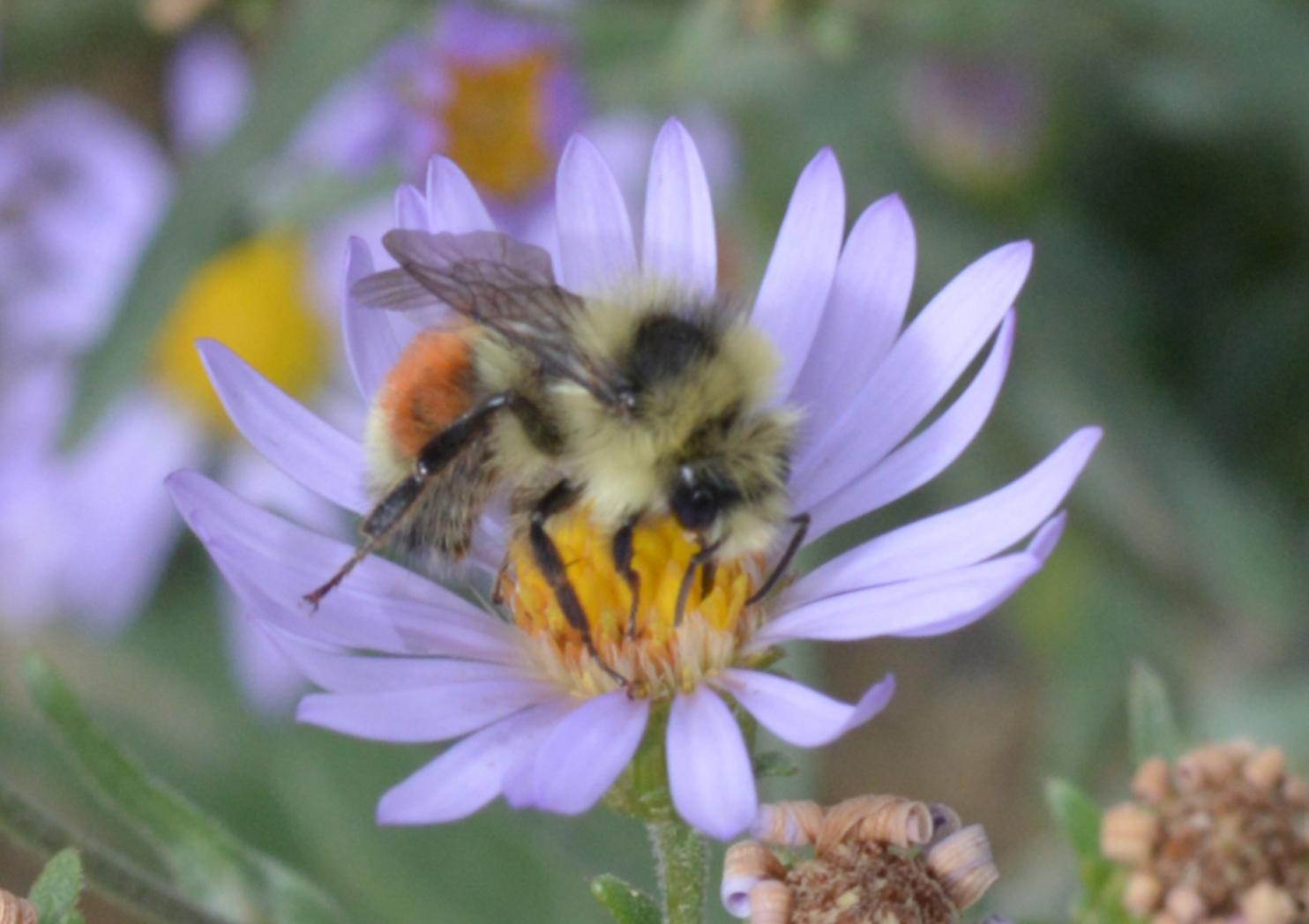 Wild bee Sucks Nectar from Blue Flower