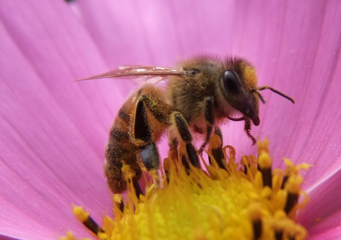 honeybee sucking nectar from pink flower
