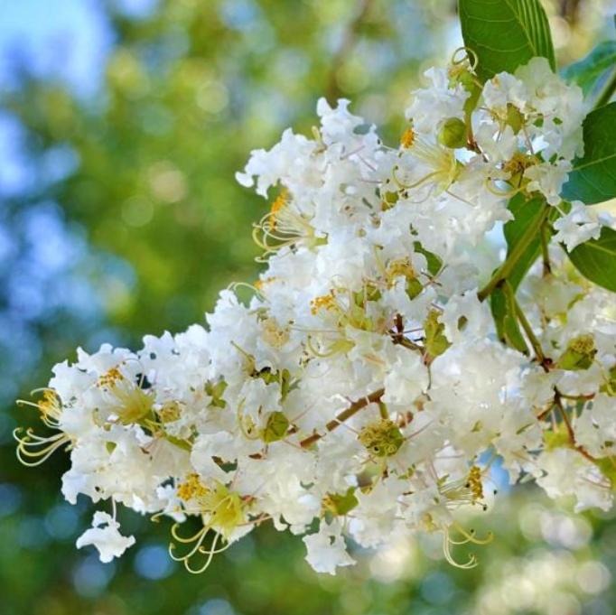 crepe myrtle flower