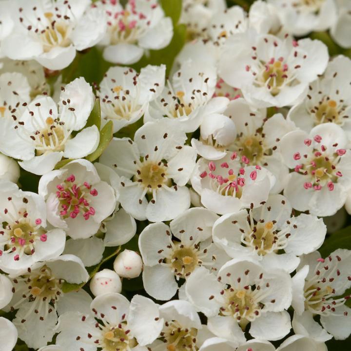 cretagus flower