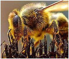 honeybee covered with pollen